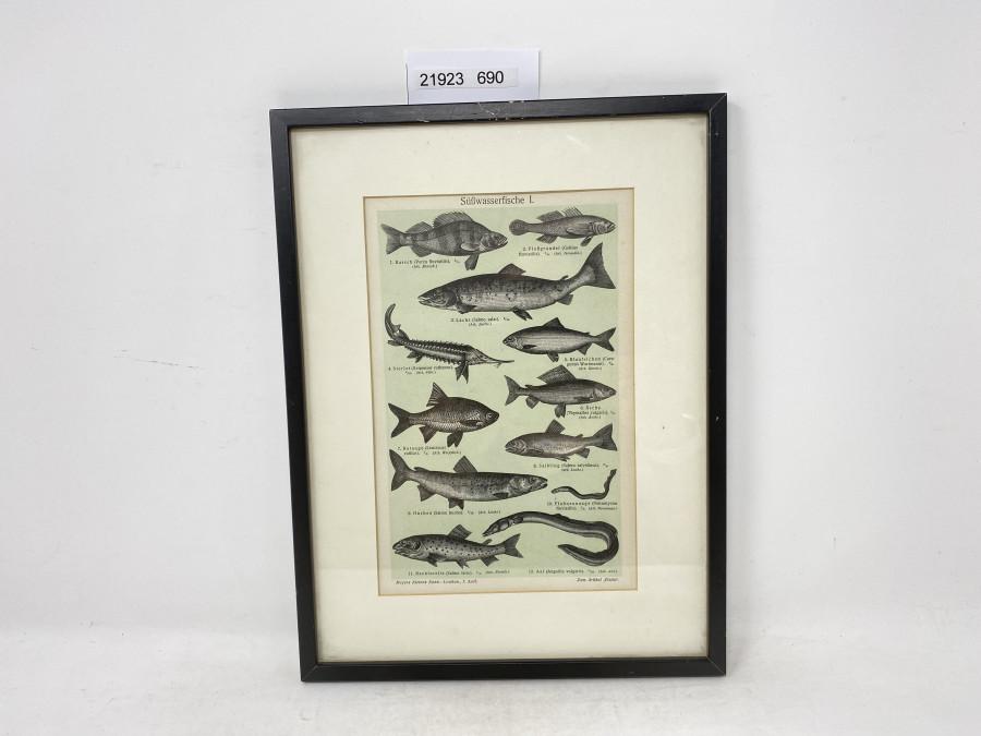 Bild im Holzrahmen, Süßwasserfische I, 310 x 230mm